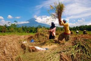 Petani memanen padi di sawah (temanggung-kab.go.id)