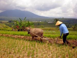 Petani menggarap lahannya menggunakan kerbau (dok. spi.or.id)
