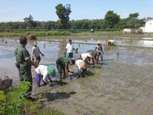 Anggota TNI terjun ke sawah membantu petani (dok. kodim 0712 tegal)