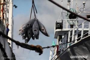 Aktivitas transshipment komoditas tuna (dok. greenpeace)