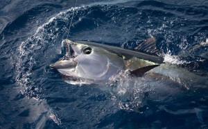 Tuna sirip kuning (wwf/edward parker)