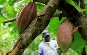 Seorang petani kakao di Hamonggrang, Kabupaten Jayapura, memeriksa kebun kakao miliknya (Dok. Villagerspost.com)