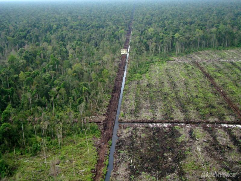 Hutan gambut mengalami kerusakan untuk perkebunan sawit (dok. greenpeace)