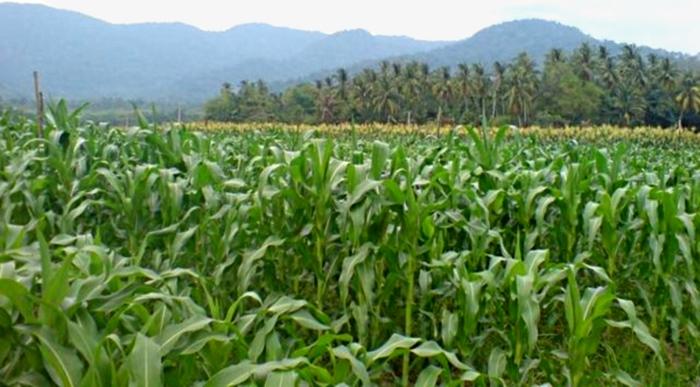 Hamparan kebun jagung di Nusa Tenggara Timur. Kemedesa garap kerjasama dengan ILO-FAO atasai rawan pangan dan kelangkaan lapangan kerja di NTT (dok.bkpm-nttprov.web.id)