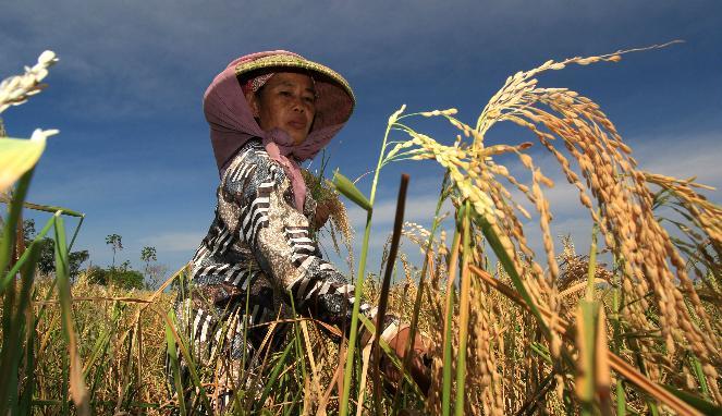 Petani memanen hasil sawahnya. RAPBN 2016 belum berpihak pada kedaulatan pangan (dok. igj.or.id)