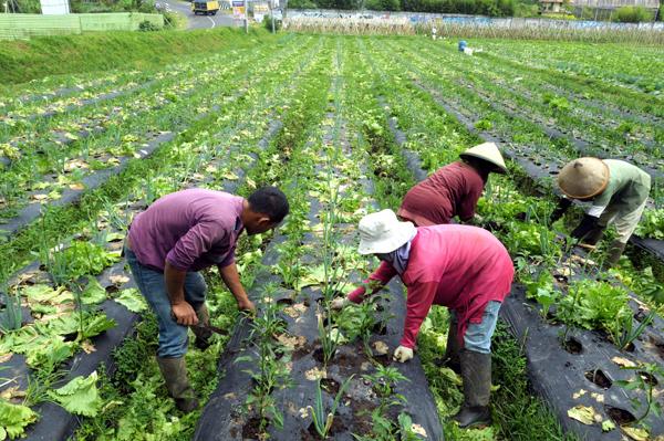 Petani menanam sayur-sayuran di ladang. (dok. hargasumut.org)