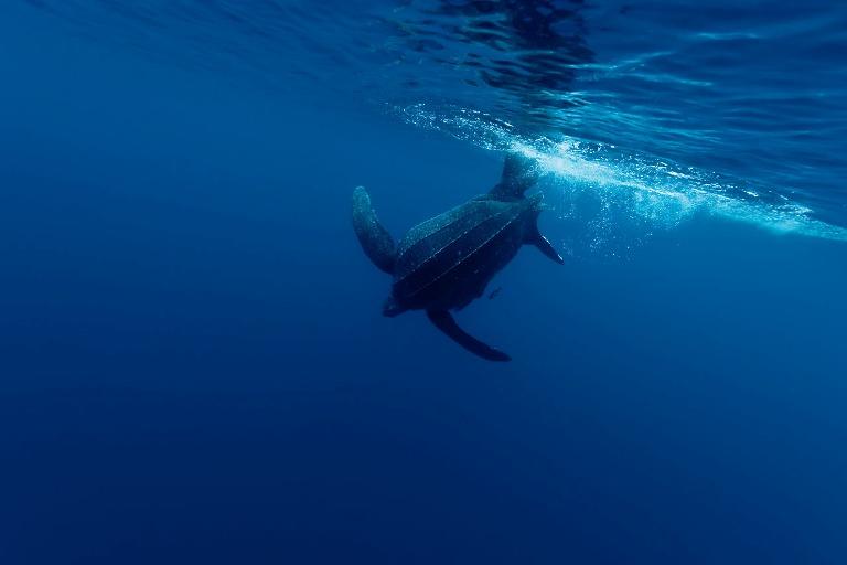 Penyu belimbing di perairan Kei Kecil. WWF luncurkan ekspedisi Kei Kecil pantau terumbu karang (dok. wwf/jurgen freund)