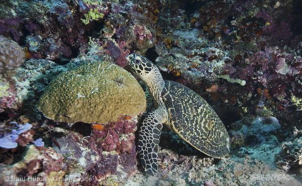 Kekayaan terumbu karang Indonesia. Pemerintah membentuk Komite Nasional Prakarsa Segitiga Karang Untuk Ketahanan Pangan  (dok. greenpeace)