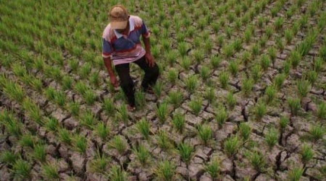 Petani menyiangi tanaman padi yang gagal panen karena kekeringan. Pemerintah luncurkan paket asuransi pertanian utnuk stabilkan pendapatan petani (dok. bkpd.jabarprov.go.id)