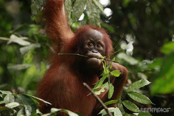 Orangutan bergelantungan di sebuah hutan di Riau, Sumatera (dok. greenpeace)