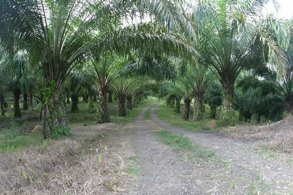 Perkebunan sawit di Sumatera. Indonesia-Malaysia sepakat bentuk dewan negara penghasil sawit (dok. setkab.go.id)