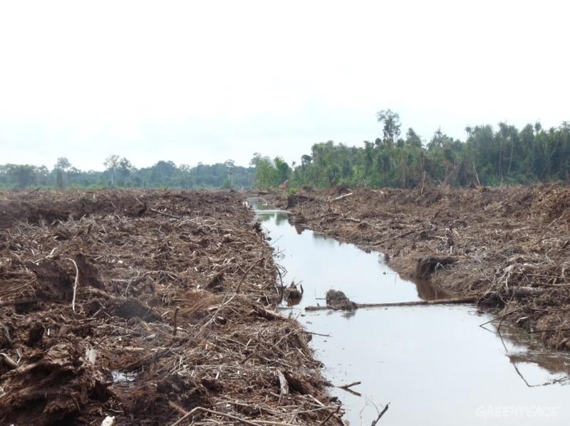 Pembukaan lahan gambut untuk perkebunan sawit (dok. greenpeace)