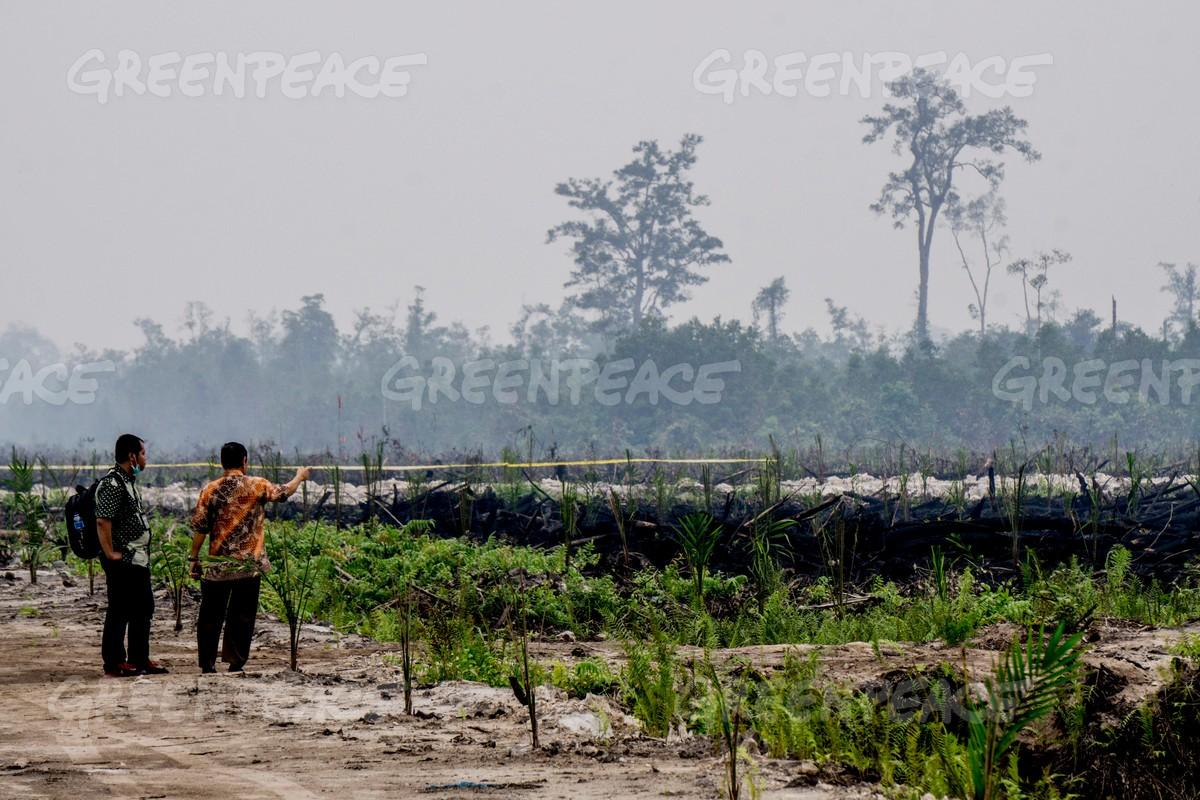 Seorang penyelidik lingkungan mengamati kawasan yang baru terbakar dan sudah ditanami bibit-bibit sawit di kawasan sebelah barat Palangkaraya, Kalimantan Tengah (dok. greenpeace/Ardiles Rante)