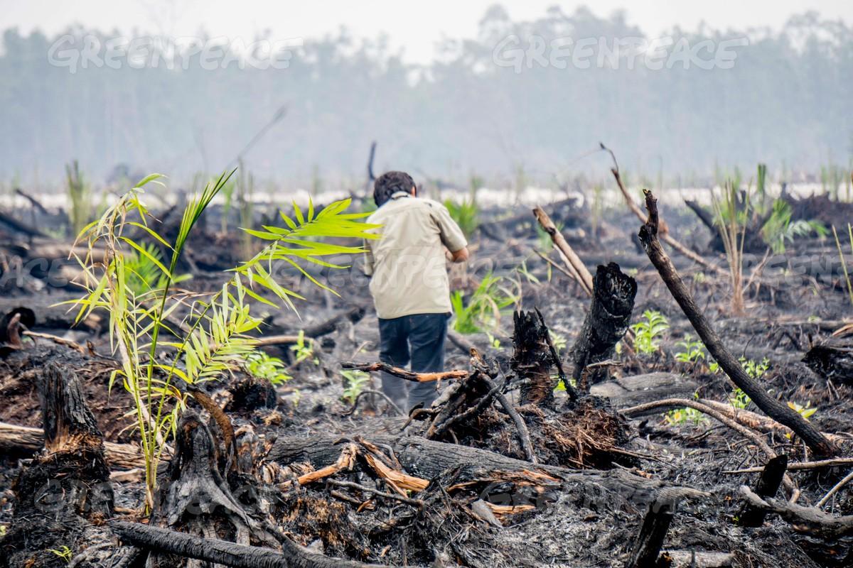 Kawasan hutan bekas terbakar ditanami bibit-bibit sawit di Kalimantan Tengah (dok. greenpeace/Ardiles Rante)
