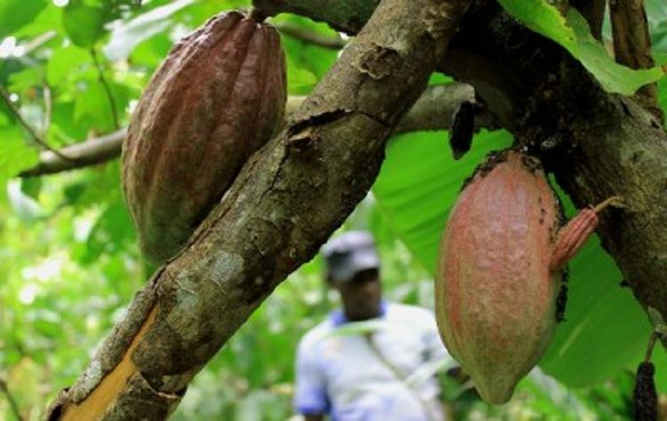 Petani kakao di Kabupaten Jayapura, Papua memeriksa tanaman kakao yang terkena hama (dok. Villagerspost.com)