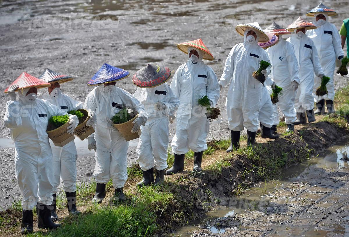 Berjalan di pematang sawah, siap menggarap lahan tercemar (dok. greenpeace/yudi mahatma)