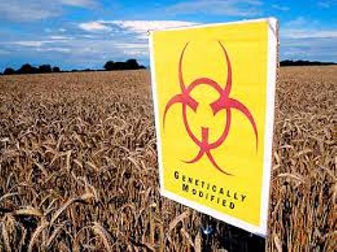 Ilustrasi peringatan adanya bahaya dalam tanaman hasil rekayasa genetik (dok. fooddemocracynow.org)