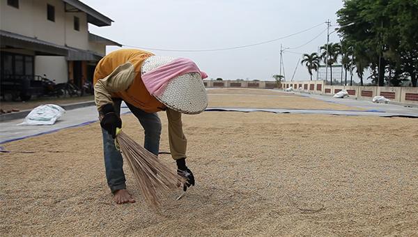 Petani menjemur padi hasil panen. Pertanian harus diperkuat dengan berkalunya MEA (dok. pertanian.go.id)