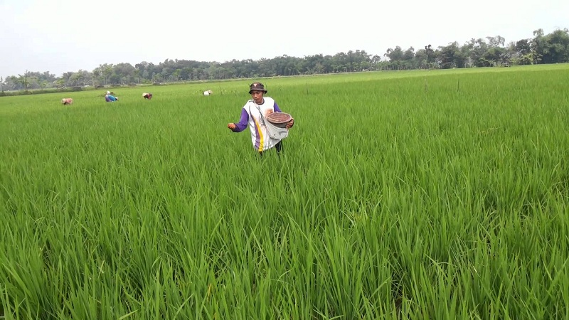Petani menebar pupuk di sawah. Pemerintah yakin tahun 2016 produksi beras berlimpah (dok. distanak.bantenprov.go.id)