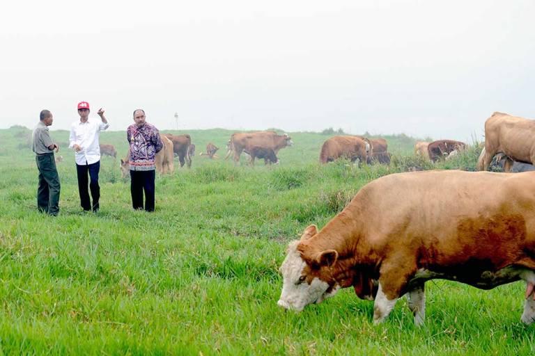 Presiden Joko Widodo saat meninjau peternakan sapi lokal unggul di Sumatera Barat (dok. sumbarprov.go.id)