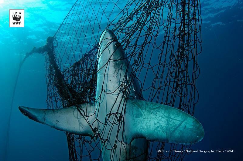 Spesies hiu yang dilindungi terjerat alat tangkap trawls (dok. wwf)