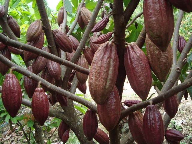Tanaman kakao tengah berbuah (dok. bbihp.kemenperin.go.id)