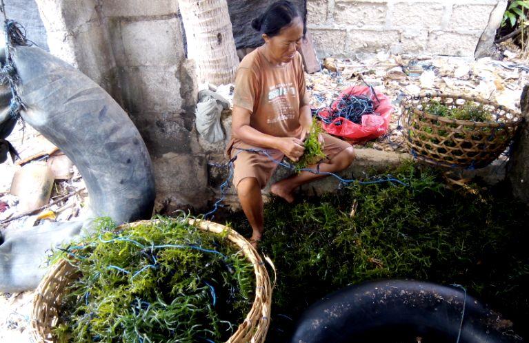 Petani rumput laut di Nusa Lembongan Bali memilah rumput laut hasil panen (dok. villagerspost.com)