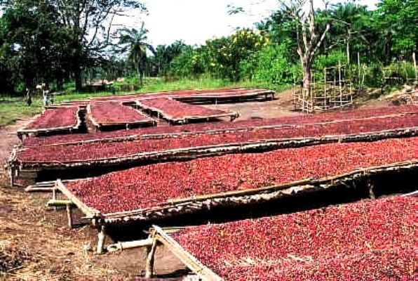 Petani kopi menjemur biji kopi hasil panen (dok. pertanian.go.id)