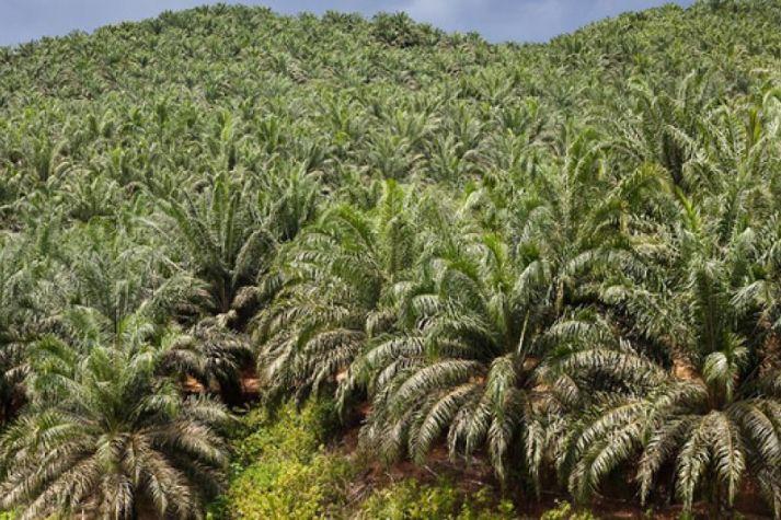 Perkebunan sawit di Indonesia (bumn.go.id)