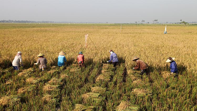 Petani memanen padi di sawah. (dok. litbang.pertanian.go.id)