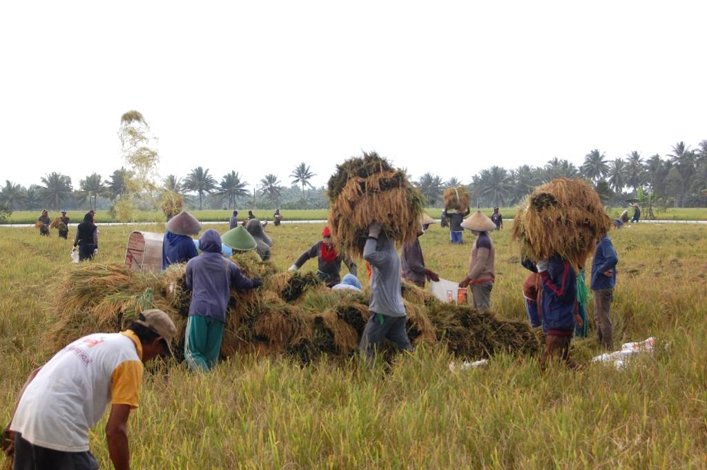 Buruh tani mengangkut hasil panen ke tempat perontokan padi (dok. litbang.pertanian.go.id)