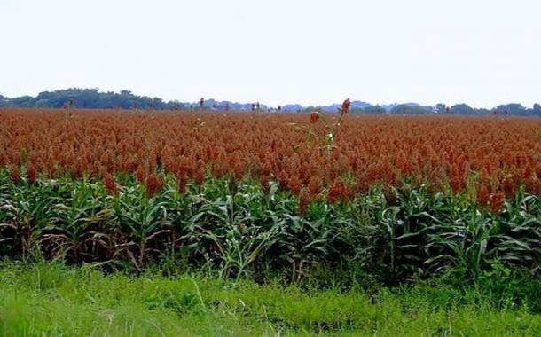 Perkebunan sorgum. Petani Lembor menderita atas nama Nawacita, lahan sorgum mereka digusur untuk pembangunan waduk Lembor (dok. agro.kemenperin.go.id)