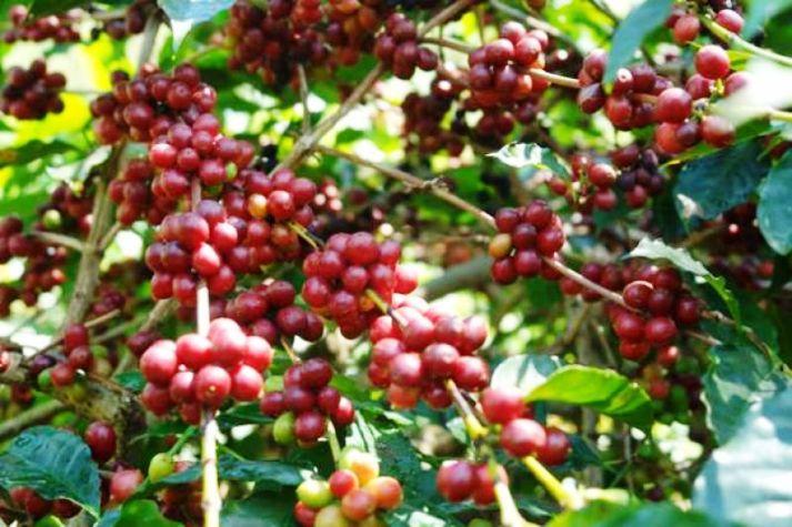 Tanaman kopi Indonesia berbuah lebat (dok. bumn.go.id)