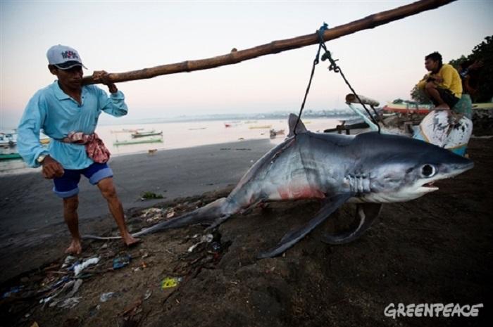 Populasi hiu terancam akibat penangkapan yang tidak terkendali (dok. greenpeace)