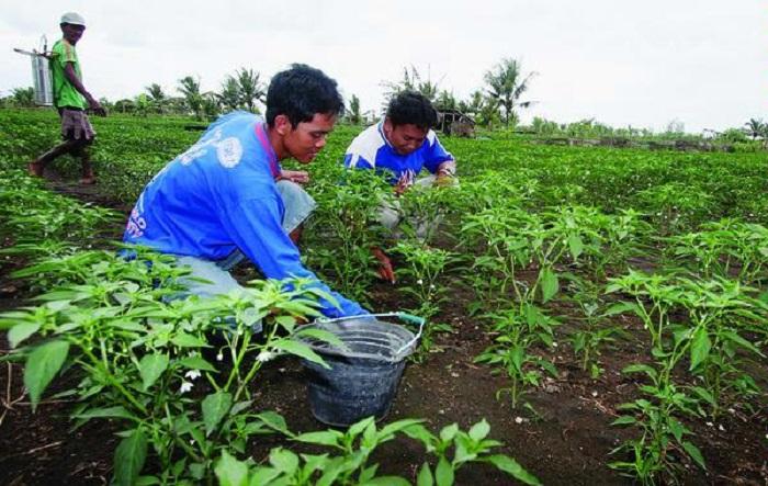 Petani muda bekerja di ladang. Indonesia dan Australia mengalami kelangkaan petani muda (dok. umy.ac.id)