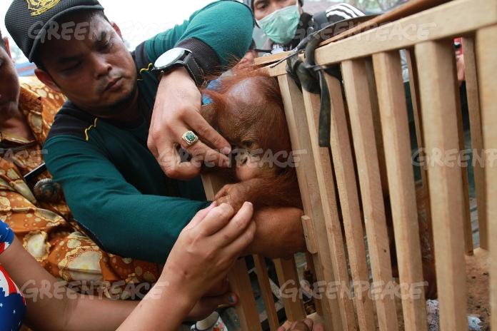 Warga menyelamatkan bayi orangutan (Pongo pygmaeus) berusia 7 bulan, saat tengah meminum air dari sungai di sebuah perkebunan sawit dekat desa LInga, Sungai Ambawang, Kubu Raya, Kalimantan Barat. (dok. greenpeace/galih novrio nanda)