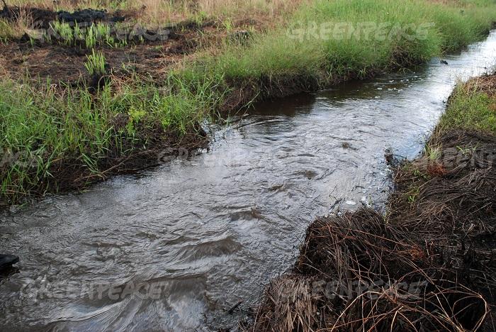 Greenpeace menemukan adanya kanal-kanal untuk mengeringkan lahan gambut di area konsesi kelapa sawit di Pangkalan Terap, Teluk Meranti, Pelalawan, Riau (dok. greenpeace/rony muharrman)