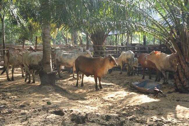 Peternakan sapi di Kalimantan Timur (dok. madina.go.id)