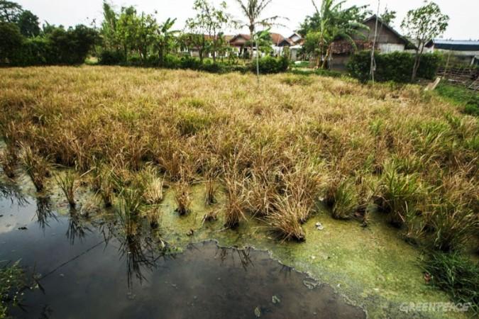 sawah di Kabupaten Bandung, Jawa Barat tercemar limbah pabrik tekstil (dok. greenpeace)