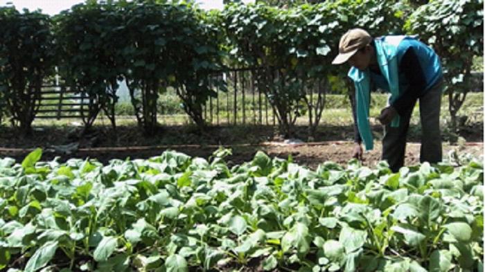 Gozali, tengah merawat tanaman caisim di halaman rumahnya, di desa Kalensari, Kecamatan Widasari, Indramayu, Jawa Barat (tim redaksi Desa Kalensari/..)