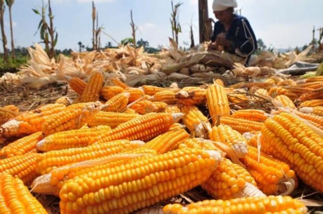 Jagung untuk bahan baku pakan ternak. (dok. kemendagri.go.id)