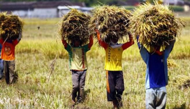 Petani mengangkut hasil panen. KRKP menilai, reshuffle kabinet Jokowi masih menunjukkan pemerintah tetap punggungi petani dan pertanian (dok. kedaulatanpangan.net)