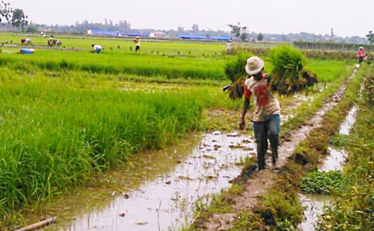 Petani mengangkut hasil panen. BPS mengungkapkan, jumlah petani miskin terus meningkat (dok. field indonesia)
