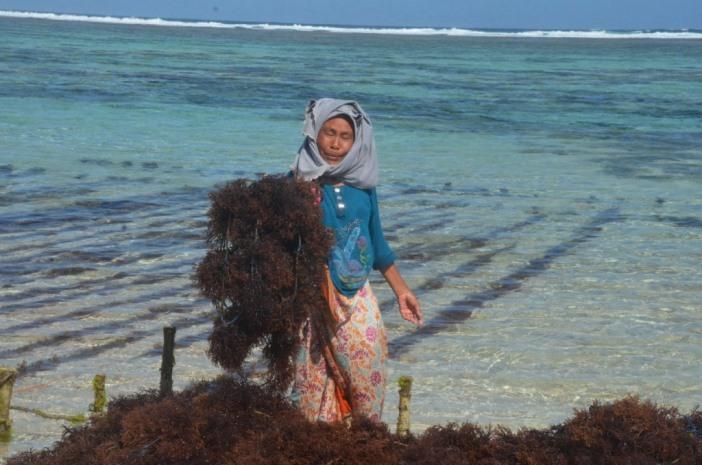 Petani rumput laut di Nusa Tenggara Barat. rencana AS hambat ekspor rumput laut Indonesia ancam penghidupan masyarakat pesisir (dok. lombokbaratkab.go.id)