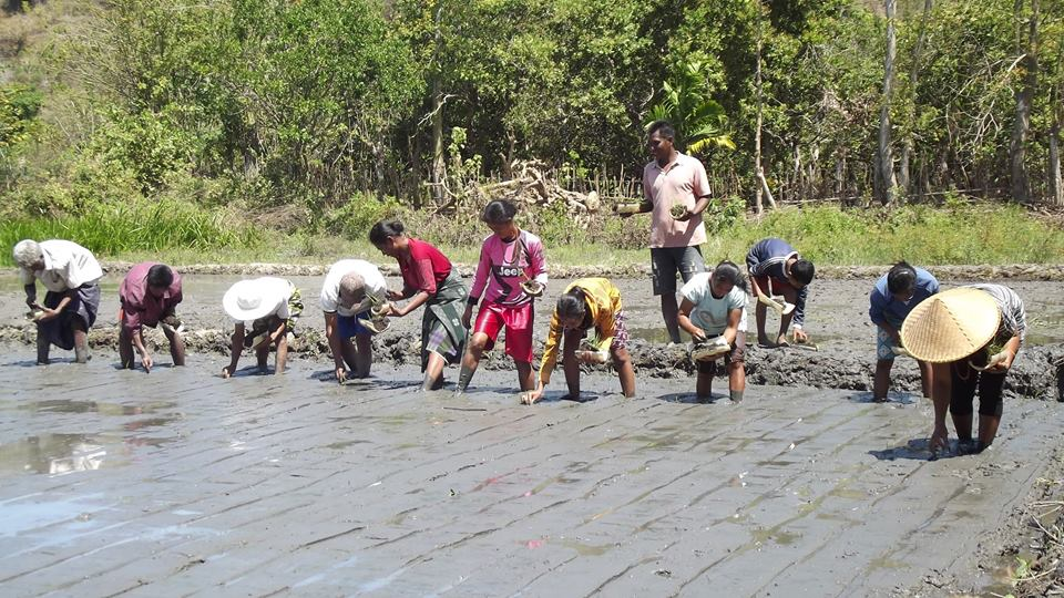 Generasi muda petani melakukan praktik tanam padi ramah lingkungan (villagerspost.com/rahmat adinata)