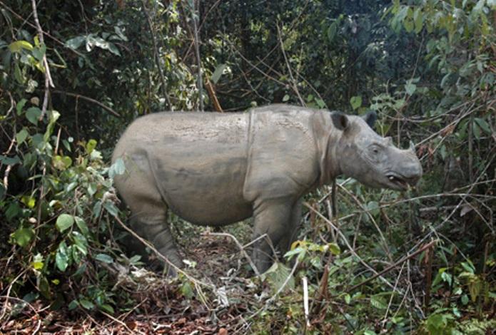 Badak Sumatera (dok. kehati.or.id)