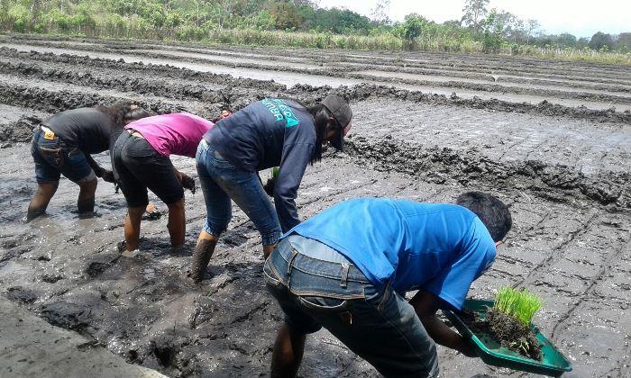Dalam pola SRI, padi ditanam dengan pola maju, bukan mundur (dok. villagerspost.com/rahmat adinata)