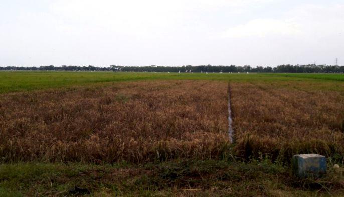 Serangan hama wereng yang melanda wilayah pertanian di Subang, Jawa Barat (villagerspost.com/deni nurhadiansyah)
