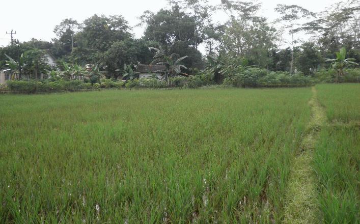Hamparan sawah yang terkena serangan blas (dok. departemen proteksi tanaman ipb)