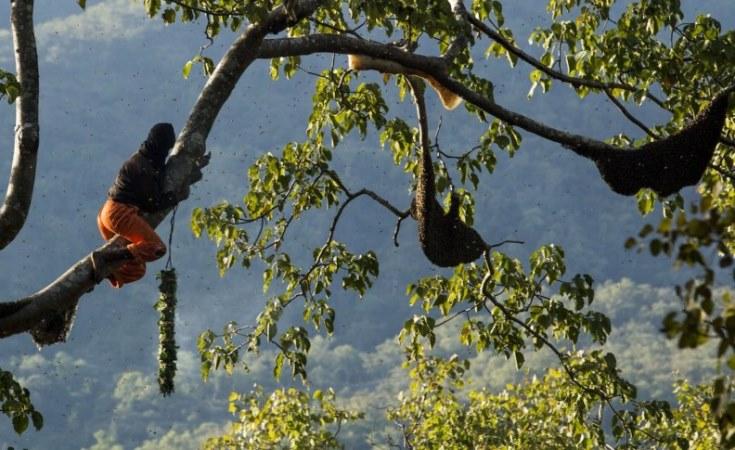 Pemanen madu, memanjat pohon. Satu pohon inang madu dapat menampung kurang lebih 100 lebah. (Nanang Sujana/CIFOR )